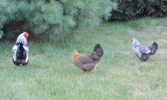 Foghorn, Muffin and Brownie  (Yes, I realize that Foghorn is not a Leghorn.  He is a Silver Laced Wyandotte, but he was supposed to be a girl.  When we figured out that he was a boy, Foghorn, was the best name we could come up with.)