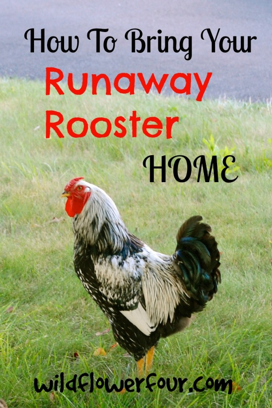 runaway rooster